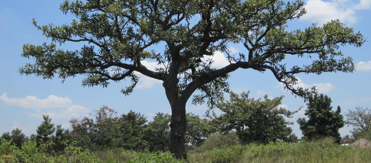 The majestic shea tree